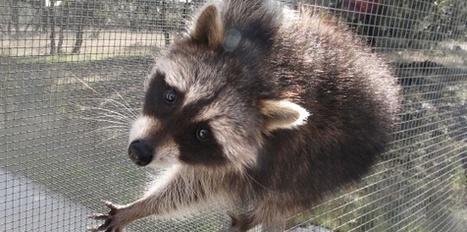 La Comunidad sacrifica a casi todos los mapaches que captura | 3 evaluación | Scoop.it