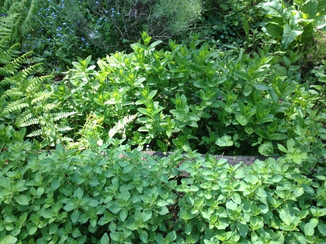 The Health Benefits of Oregano - Healthy Holistic Living... | Nutrition Today | Scoop.it
