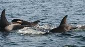 New baby orca spotted in Puget Sound | Dolphins | Scoop.it