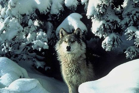 Demand Justice for Slain Gray Wolf | GarryRogers Biosphere News | Scoop.it