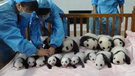 VIDEO. Naissances records de pandas géants : 14 en Chine et des jumeaux aux Etats-Unis | Les Pandas | Scoop.it