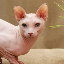 FIP and Other Cat Health Studies Receive Funding | Ask The Cat Doctor | Scoop.it