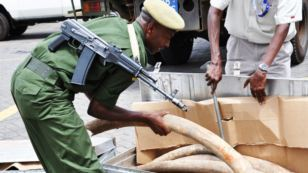 Interpol Conducts 'War' on Poaching in Africa | Wildlife Trafficking: Who Does it? Allows it? | Scoop.it