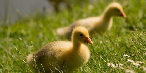 Abattoirs : bientôt la fin du broyage de poussins et canetons ? | Agriculture en Dordogne | Scoop.it