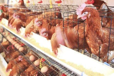 Les œufs de poules élevées en batterie, chez Monoprix c'est fini | Organics Cluster | Scoop.it