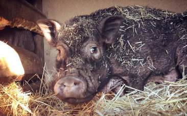 Pig Rescue: Journey From Hell to Sanctuary - Care2.com | Free Range Farming | Scoop.it