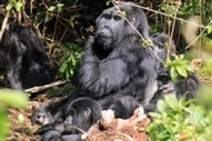 Uganda: the best spots for gorilla trekking | Inspiring Round The World Trip Ideas | Scoop.it