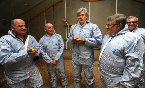 Premiers canetons post-crise aviaire en Chalosse, Le Foll se veut rassurant | Agriculture en Pyrénées-Atlantiques | Scoop.it