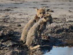 Is there room for wildlife as Africa grapples with development? | Biodiversity | Scoop.it