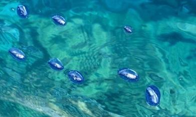 US west coast awash in millions of jellyfish-like Velella velella   Global Aquaculture News & Events   Scoop.it