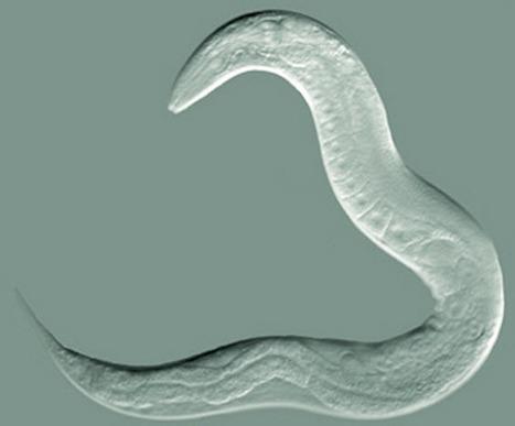 Five-fold lifespan extension in C. Elegans by combining mutants | KurzweilAI | blooms taxonomy | Scoop.it