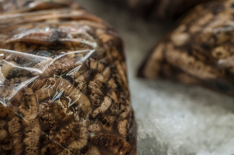 A pleasure known as  Entomophagy | Entomophagy: Edible Insects and the Future of Food | Scoop.it