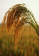 Actionbioscience ESP | La Biotecnología en los Cultivos: Problemas Potenciales para los Países en Desarrollo | Problemas en biotecnología | Scoop.it