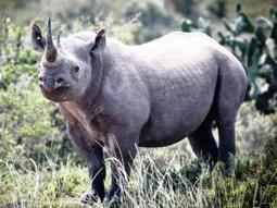 Sleuthing for endangered black rhinos | What's Happening to Africa's Rhino? | Scoop.it