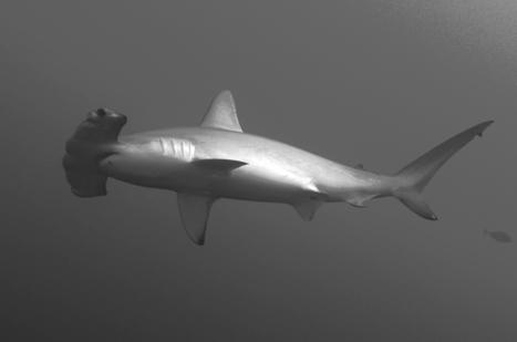 gros effort de la CITES, 5 requins classés en annexe 2 - That's a deal : CITES finally classified 5 sharks' species in its Annex 2   requins   Scoop.it