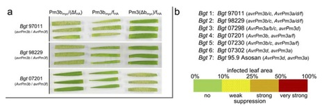 Plant J: Suppression among alleles encoding NB-LRR resistance proteins interferes with resistance in F1 hybrid and allele-pyramided wheat plants (2014) | Plant-Microbe Interactions that Andy Cares About | Scoop.it