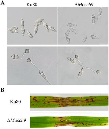 The Sch9 Kinase Regulates Conidium Size, Stress Responses, and Pathogenesis in Fusarium graminearum | Fungicide Hormesis | Scoop.it