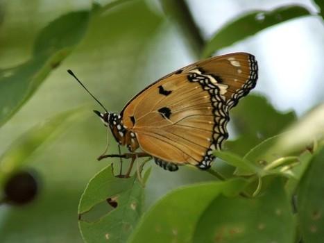 Photo de papillon : Nymphale du pourpier - Hypolimnas misippus - Faux-monarque - Papilio misippus - Danaid Eggfly | Fauna Free Pics - Public Domain - Photos gratuites d'animaux | Scoop.it