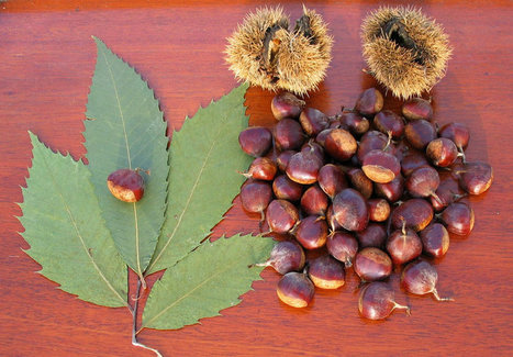 Once And Future Nut: How Genetic Engineering May Bring Back Chestnuts | Plant Biology Teaching Resources (Higher Education) | Scoop.it