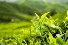 Buy Quality Japanese Green Tea from Bouncing Bear Botanicals supplies kratom and sacred and exotic plants including amanita muscaria ayahuasca and more | Japanese Green Tea | Scoop.it
