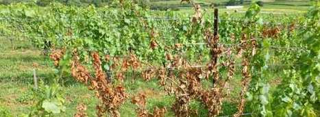 Fatal Wood Diseases Affect 12 Percent of French Vineyards | Grande Passione | Scoop.it