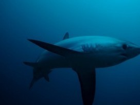 Thresher sharks use tail-slaps to hunt and stun their prey ... | Shark Attacks | Scoop.it