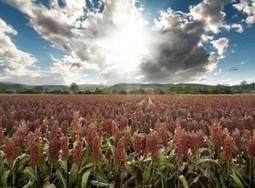 Virginia farmers turning to sorghum to save money | HamptonRoads.com | PilotOnline.com | North Carolina Agriculture | Scoop.it