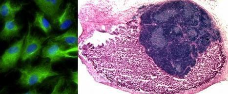 Functional thymus organ grown in mice from lab-created cells | KurzweilAI | Longevity science | Scoop.it