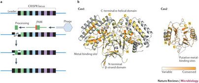 Unravelling the structural and mechanistic basis of CRISPR-Cas systems : Nature Reviews Microbiology : Nature Publishing Group | Genome Engineering | Scoop.it