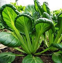 Tatsoi - (Brassica rapa)-Store.underwoodgardens.com | Permaculture, Homesteading, Ecology, & Bio-Remediation | Scoop.it