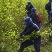 #Colombia's Contradictory Return to Coca #Fumigation | Washington Office on Latin America | Organized crime in the Americas, main news | Scoop.it