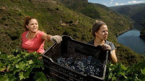 Vendimia heroica en el cañón del Sil | Galicia | Scoop.it