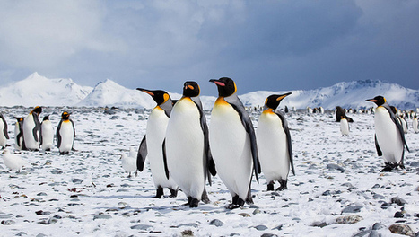 Emperor Penguins Use Travelling Wave to Keep Warm During Winter (Video) | animals and prosocial capacities | Scoop.it