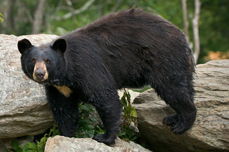117 bears killed on first day of state's weeklong bear hunt | Human-Wildlife Conflict: Who Has the Right of Way? | Scoop.it