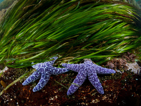 Sea Stars Picture – Animal Wallpaper – National Geographic Photo of the Day | Fotografía | Scoop.it