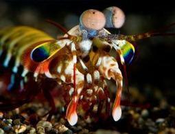 Satellite-like eyes give mantis shrimp unique vision - life - 23 January 2014 - New Scientist | Mantis Shrimp | Scoop.it