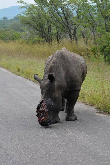 New blood record: 1,020 rhinos killed in South Africa | Conservation | Scoop.it