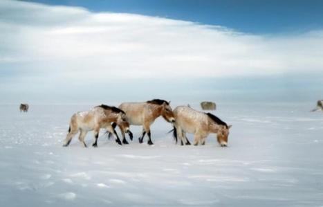 Russie: le dernier cheval sauvage du monde réintroduit | Biodiversité | Scoop.it