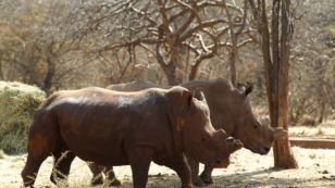 US Targets Traffickers as Rhino Horn Value Soars | Avner Romms Politics and  Movies about TRUTH and the CAPE | Scoop.it