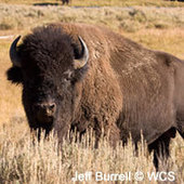 """""""Elect our National Mammal: Vote Bison!"""" 
