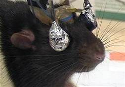 Goggle-wearing rats show link between learning, rewards - NBCNews.com | Cognitive Intelligences | Scoop.it