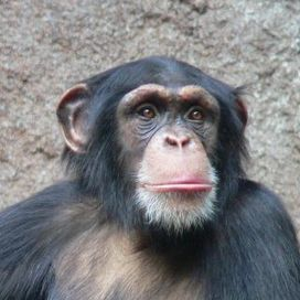 Who Apes Whom? Frans de Waal Notes We're Not All That Unique | Animals R Us | Scoop.it