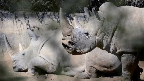 Poachers kill two white rhinos in central Kenya | What's Happening to Africa's Rhino? | Scoop.it