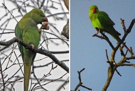 PICTURES: Tropical parrots are setting up home in Plymouth | All Things Zygodactyl | Scoop.it