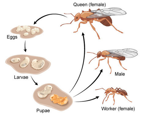 Life Cycle of Ants | All About Ants | Scoop.it