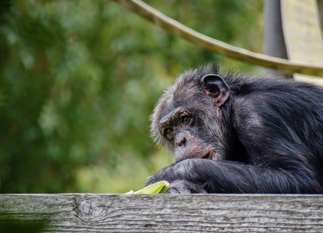 Chimps Are Better at Strategic Reasoning Than Humans Are | Strange days indeed... | Scoop.it