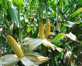Electronic Revolution: Covert Sterilization From GMO Created Corn | GMO GM Articles Research Links | Scoop.it