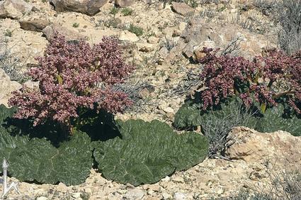 Noticias de ecologia y medio ambiente | Naturaleza sorprendente: La planta que se riega a sí misma | Agua | Scoop.it