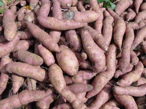 Performance of sweet potato varieties across environments in Kenya | International Journal of Biomolecules and Biomedicine (IJBB) | Scoop.it