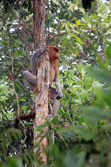Photo 197   BEKANTAN -WILD INDONESIA   Bekantan - Wild Indonesia   Scoop.it